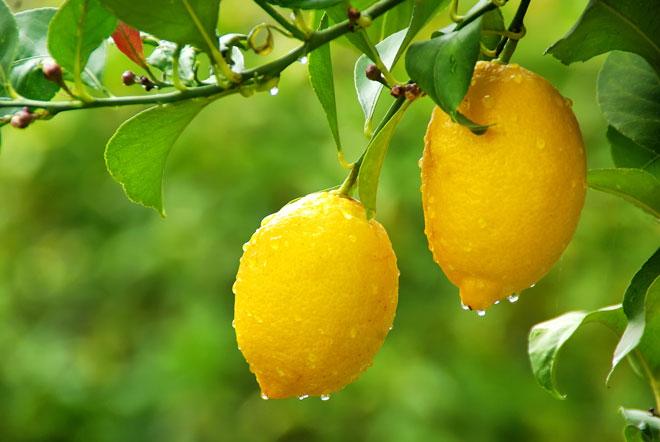 Как хранить свежие лимоны в домашних условиях на долгий срок: выбор плода, лучшие рецепты
